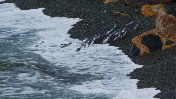 Kis Pingvin - Eudyptula minor - maori kororában, éjszakai visszatérés a partra, hogy fiókákat etessen fészkekben, Oamarau, Új-Zéland. Pingvinek seregei térnek vissza a tengerből a parton..