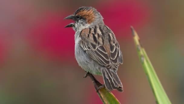 Iago Sparrow - Passer iagoensis - také známý jako kapverdy nebo vrabec hřbetní, je endemický kapverdský souostroví, kopání pro jídlo v poušti a zpěv