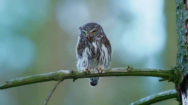Eurasian Pygmy-Owl - Glaucidium passerinum sedí na větvi s kořistí v lese v létě. Malá evropská sova se zeleným pozadím.