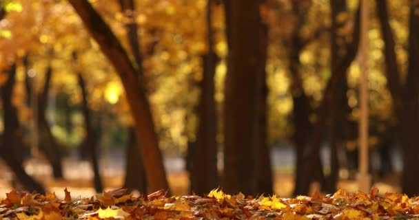 Bájos táj egy nagyon szép sárga lombozat esik a régi fák őszi parkban.