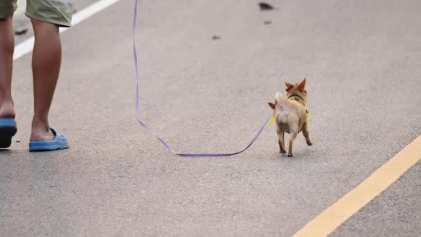 Zadní pohled muž chůze vodítko Chihuahua pes v parku, detailní záběr. Pomalý pohyb