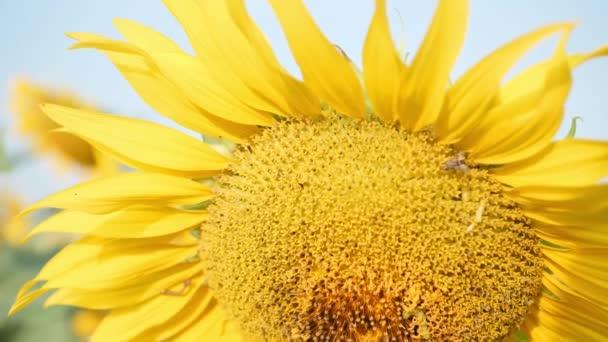 Közel a virágzó napraforgók mozgó a szél és a reggeli napsütés. Közönséges napraforgó természetes háttér. Lassú mozgás.
