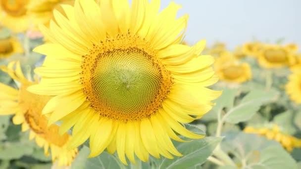 Blízko kvetoucích slunečnic pohybujících se ve větru a ranním slunci. Společné slunečnice přírodní pozadí.