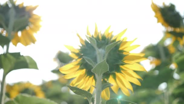 Rear view of blooming sunflowers moving in the wind and the morning sunshine . Common sunflower natural background. Slow motion