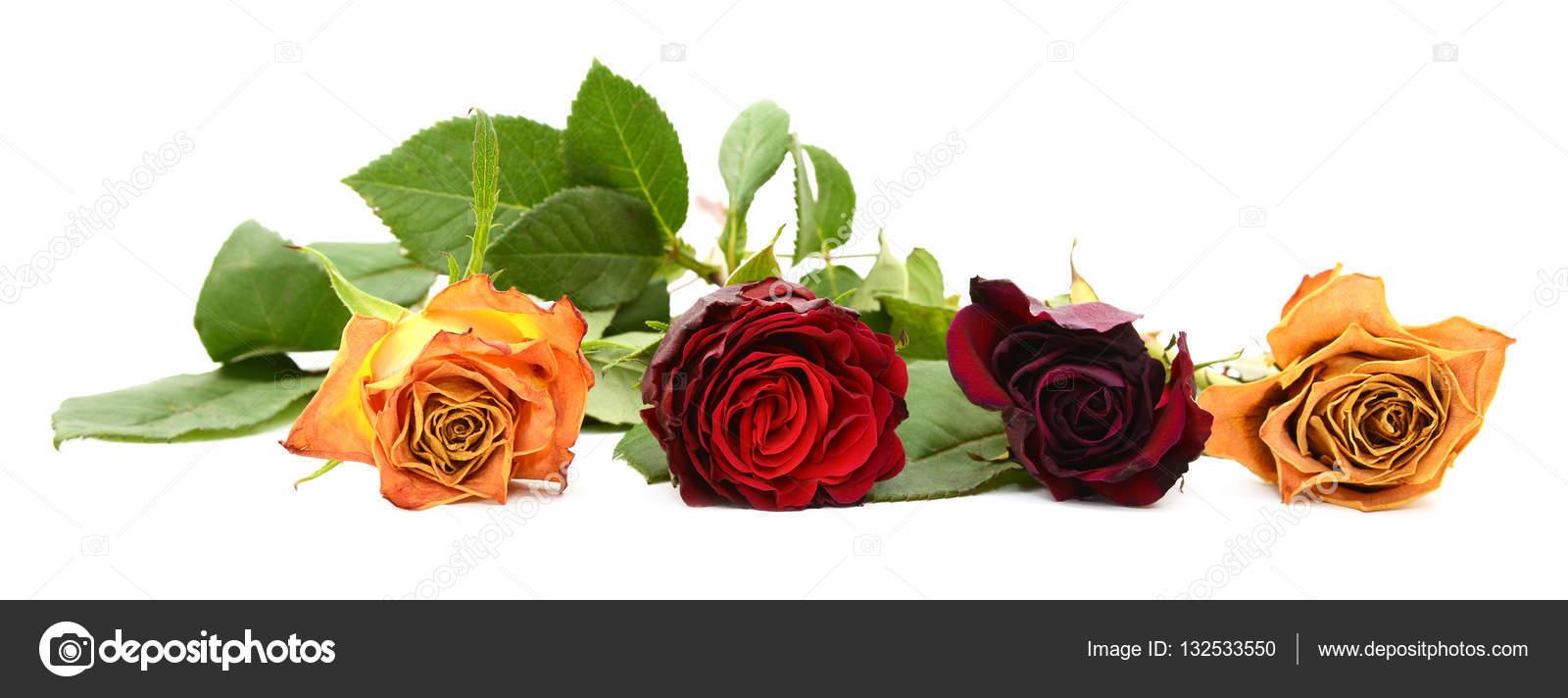 Wiersz Z Czterech Blaknięcie Róża Kwitnie Zdjęcie Stockowe