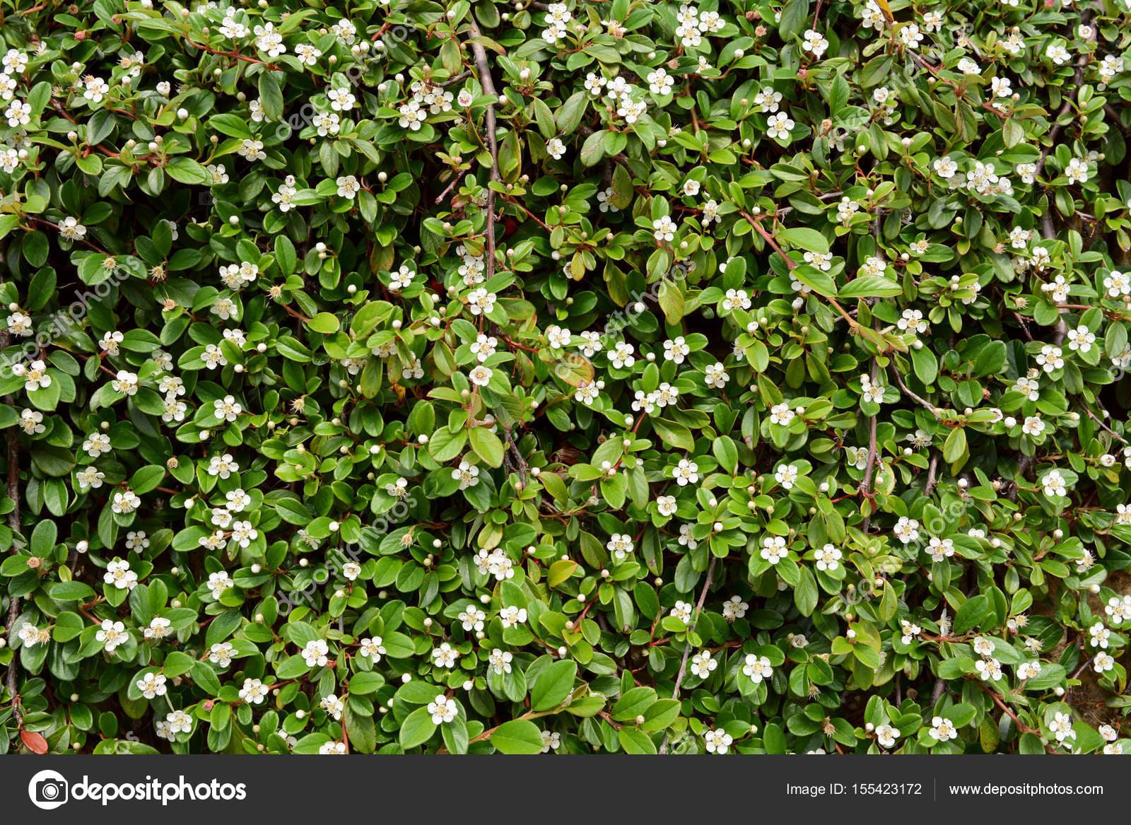 Trailing Cotoneaster Shrub With White Flowers Stock Photo