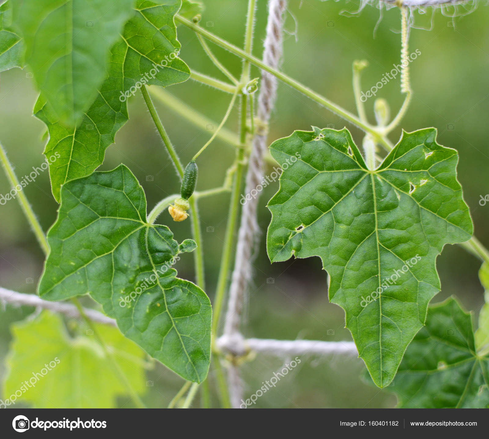 Small Cucamelon With Yellow Flower Among Rich Green Leaves Stock
