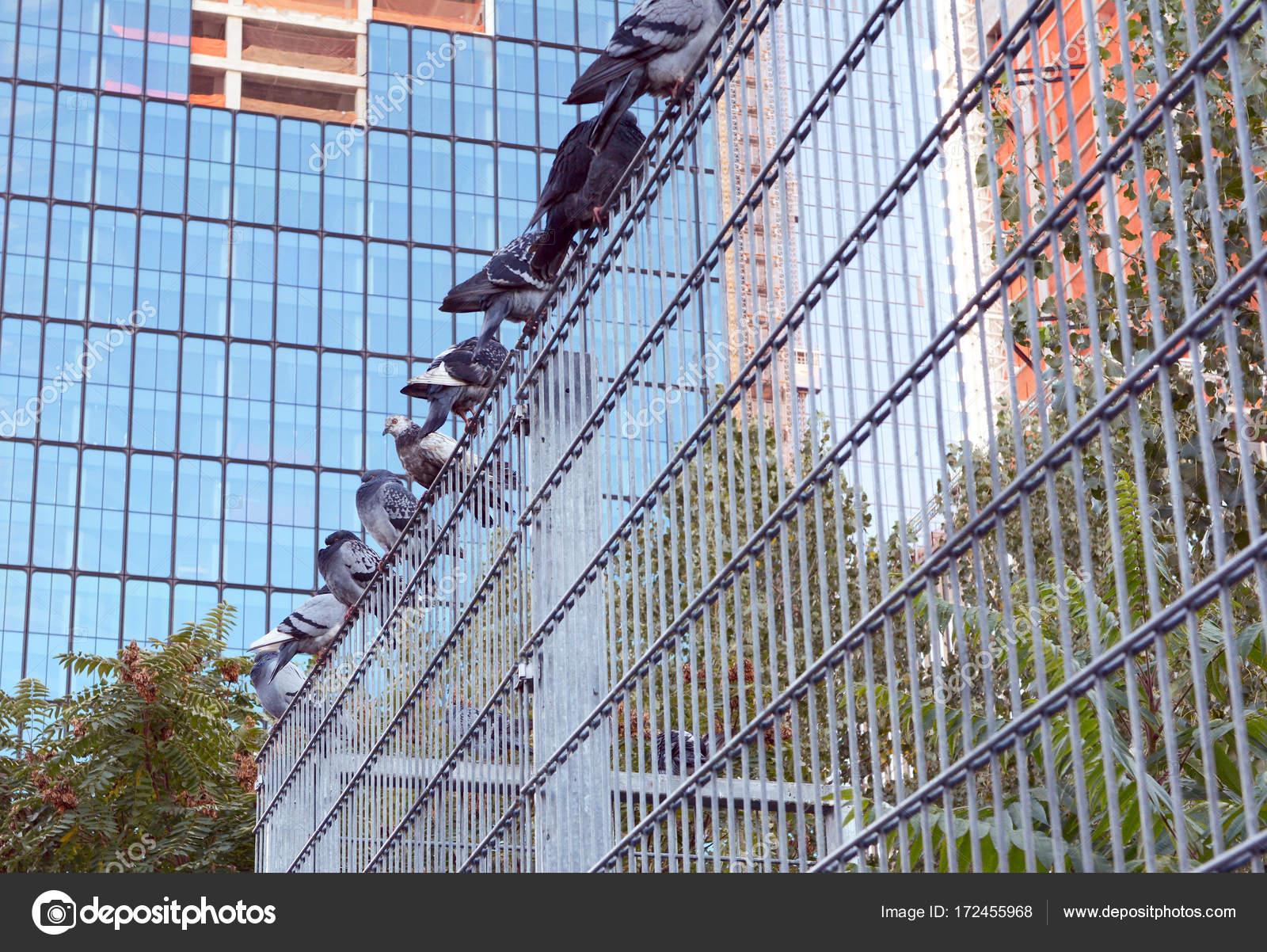 Neun Tauben Schlafplatz auf einem Metall Sicherheitszaun — Stockfoto ...