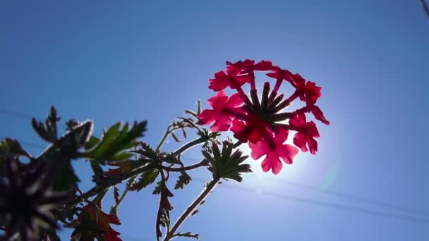 Close up of flowering pink primula on blue sky background