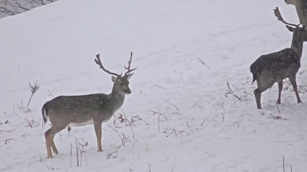 szarvasok etetése télen a hó