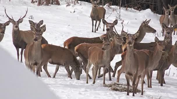 Skupina jelen ve sněhu