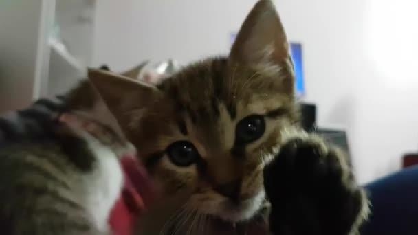 macska kiskutya játszik