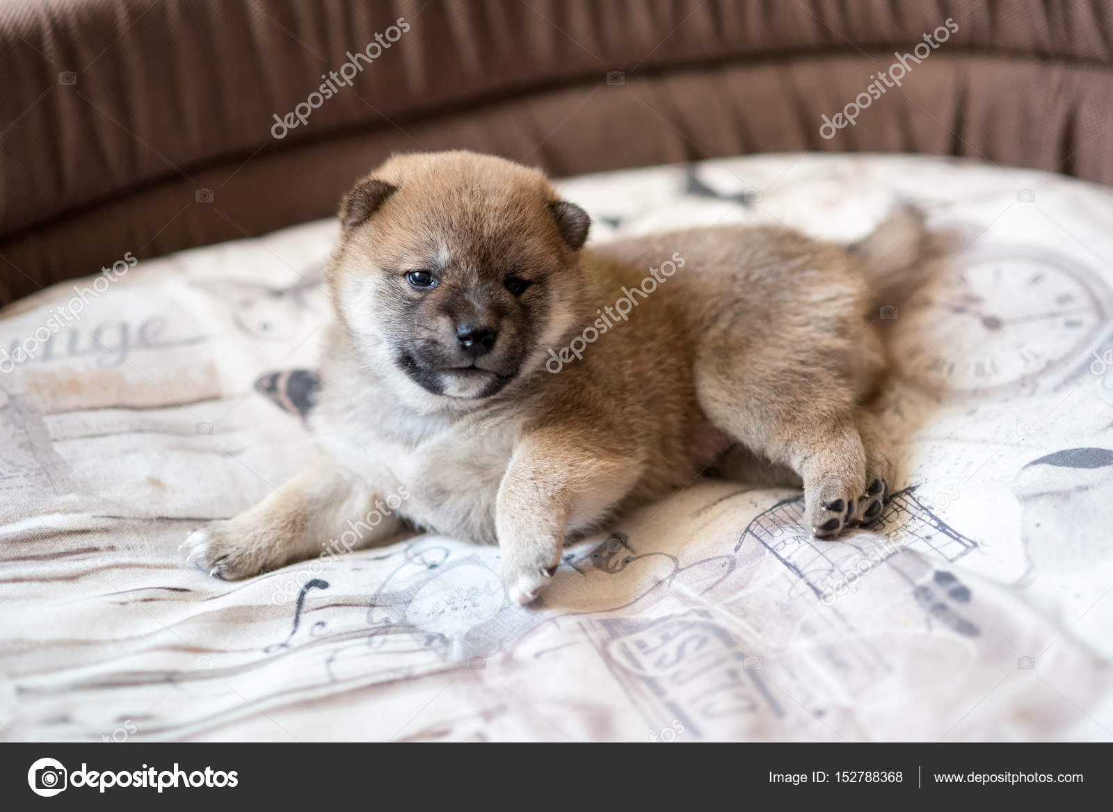 Cutest Shiba Inu Puppy Cute Shiba Inu Puppy Dog Stock Photo C Photology1971 152788368