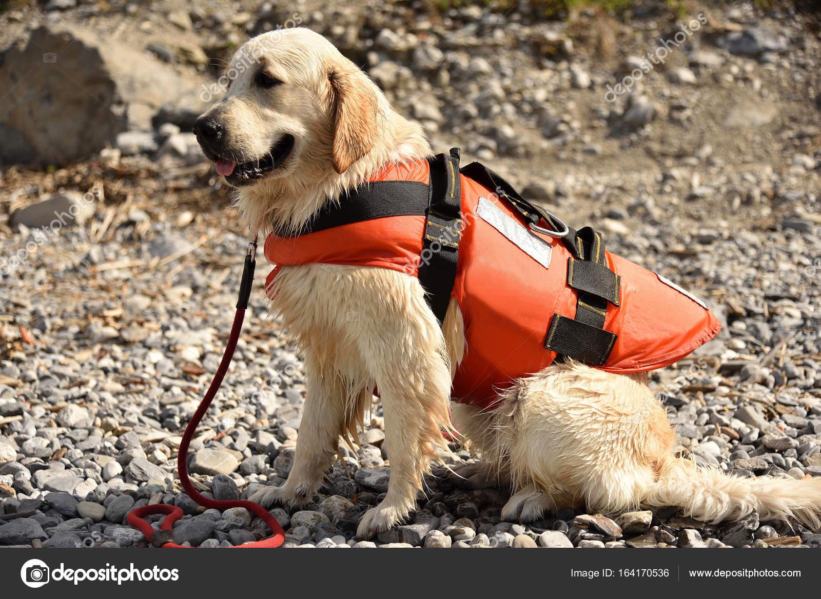 Golden Retriever Wearing Water Rescue Life Jacket Stock Photo
