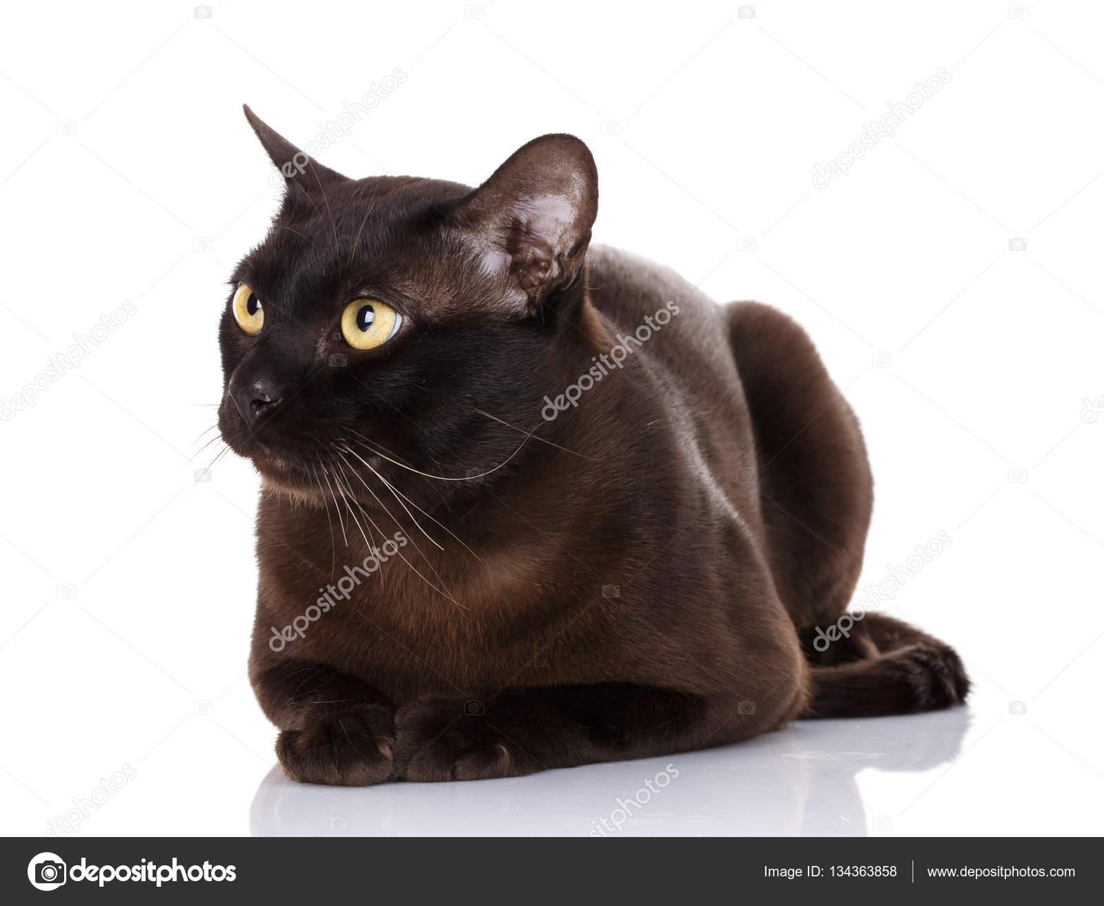 Czarny Kot Birmański żółte Oczy Leżącego Na Białym Tle Zdjęcie