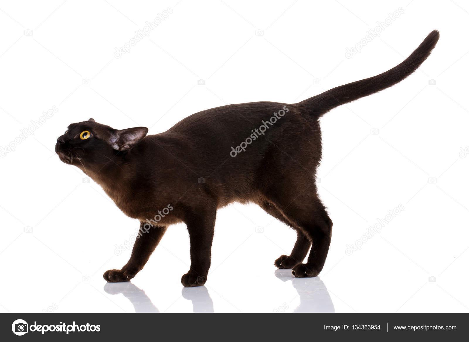 Czarny Kot Birmański Stojący Na Białym Tle Zdjęcie Stockowe