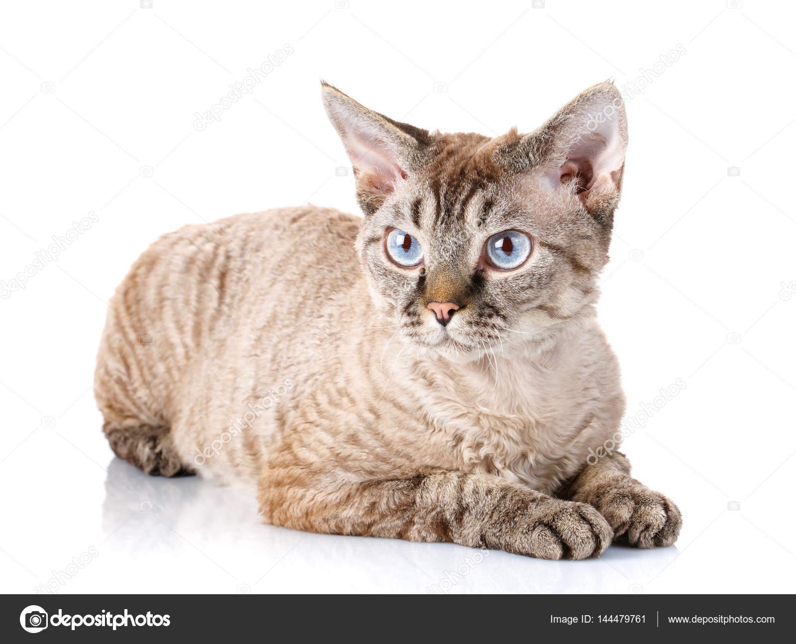 Szary Devon Rex Kot Z Wielkimi Uszami Na Białym Tle Zdjęcie