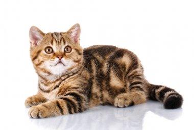 Cat Lying on Isolated white Background