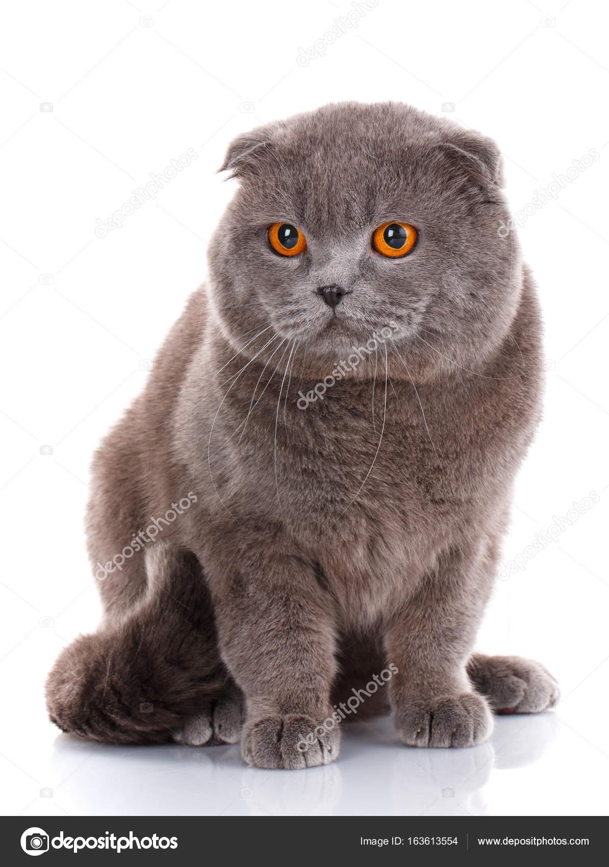 Gatto britannico shorthair grigio con gli occhi gialli luminosi isolato su  sfondo bianco \u2014 Foto di serkucher