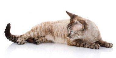 gray devon rex cat with big ears lying on white