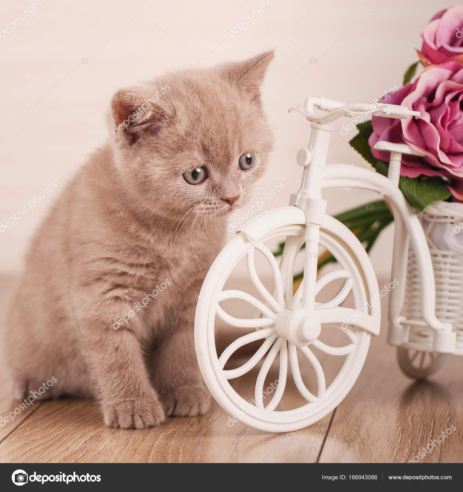 dbe0f8dc6efa Γάτα. Γατάκι Scottish Διπλώνετε γάτα της Σκωτίας. Γάτα στο σπίτι κοντά σε  ένα διακοσμητικό δοχείο με τη μορφή ενός ποδηλάτου — Εικόνα από serkucher