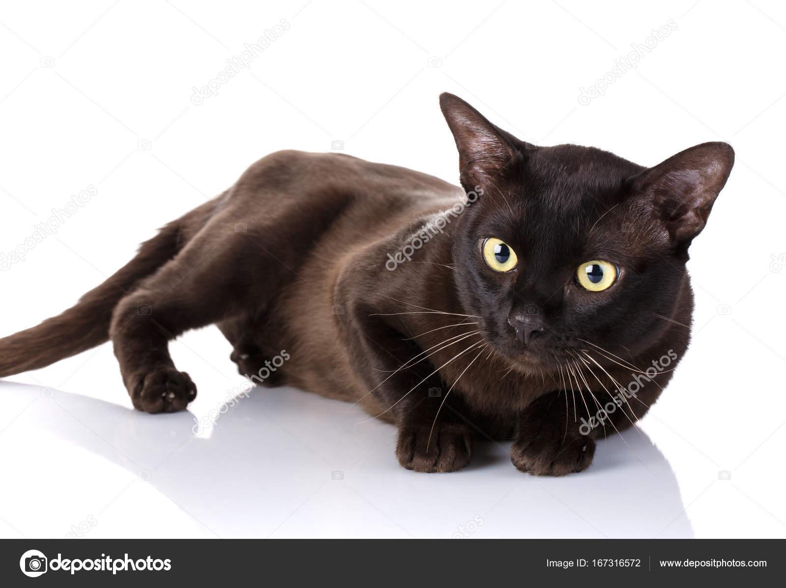Czarny Kot Birmański Leżąc Na Boku Białe Tło Zdjęcie Stockowe