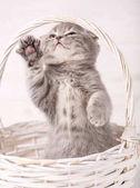 Fényképek Skót szeres Kitty állt a hátsó lábaira állni, a kosár