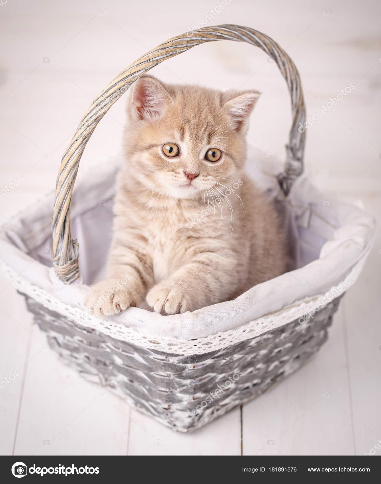 Escocés gato estrecho color crema se encuentra en una cesta de ...