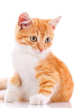 Red nice kitten. Cat isolated