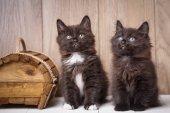 Két vicces és aranyos fekete Kurilian Farkat kurtít macska ül.