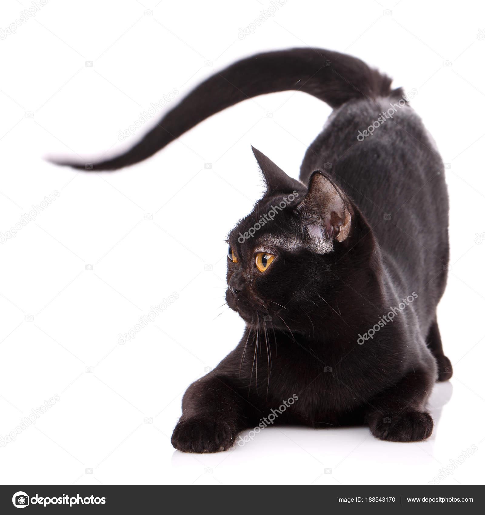 Czarny Kot Birmański Na Białym Tle Zdjęcie Stockowe Serkucher