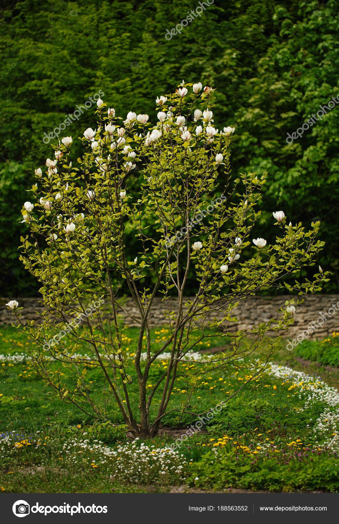 White Magnolia Flower Big Magnolia Bush Stock Photo Serkucher