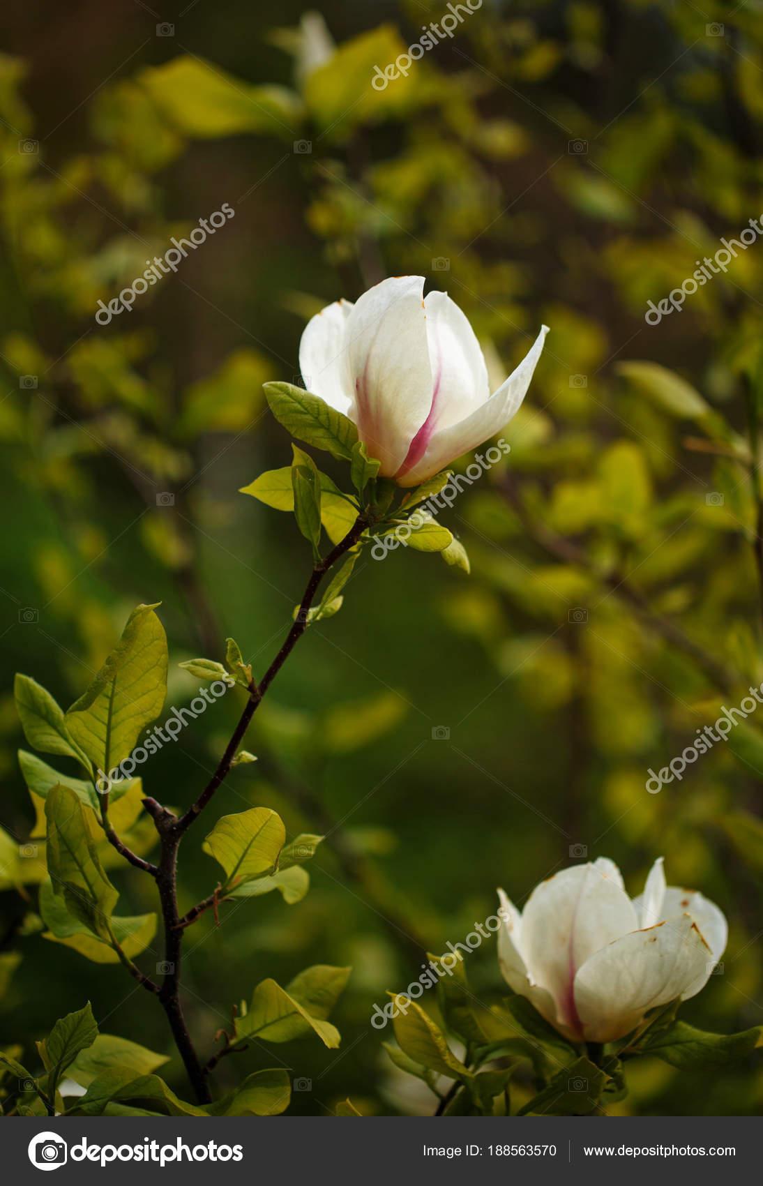 White Magnolia Flower Stock Photo Serkucher 188563570