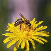 včela sbírá nektar na Pampeliška