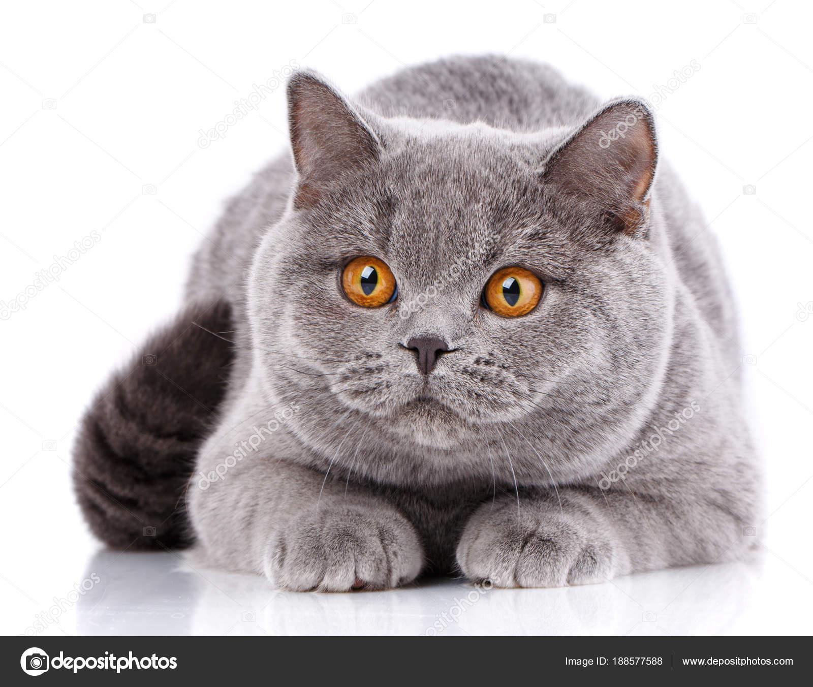 Portret Szary Kot Brytyjski Prosto Z żółte Oczy Na Białym Zdjęcie