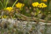 Beauty lizard rest on the fence in dam or reservoir Dushantsi at river Topolnitsa,  Central Balkan mountain, Stara Planina