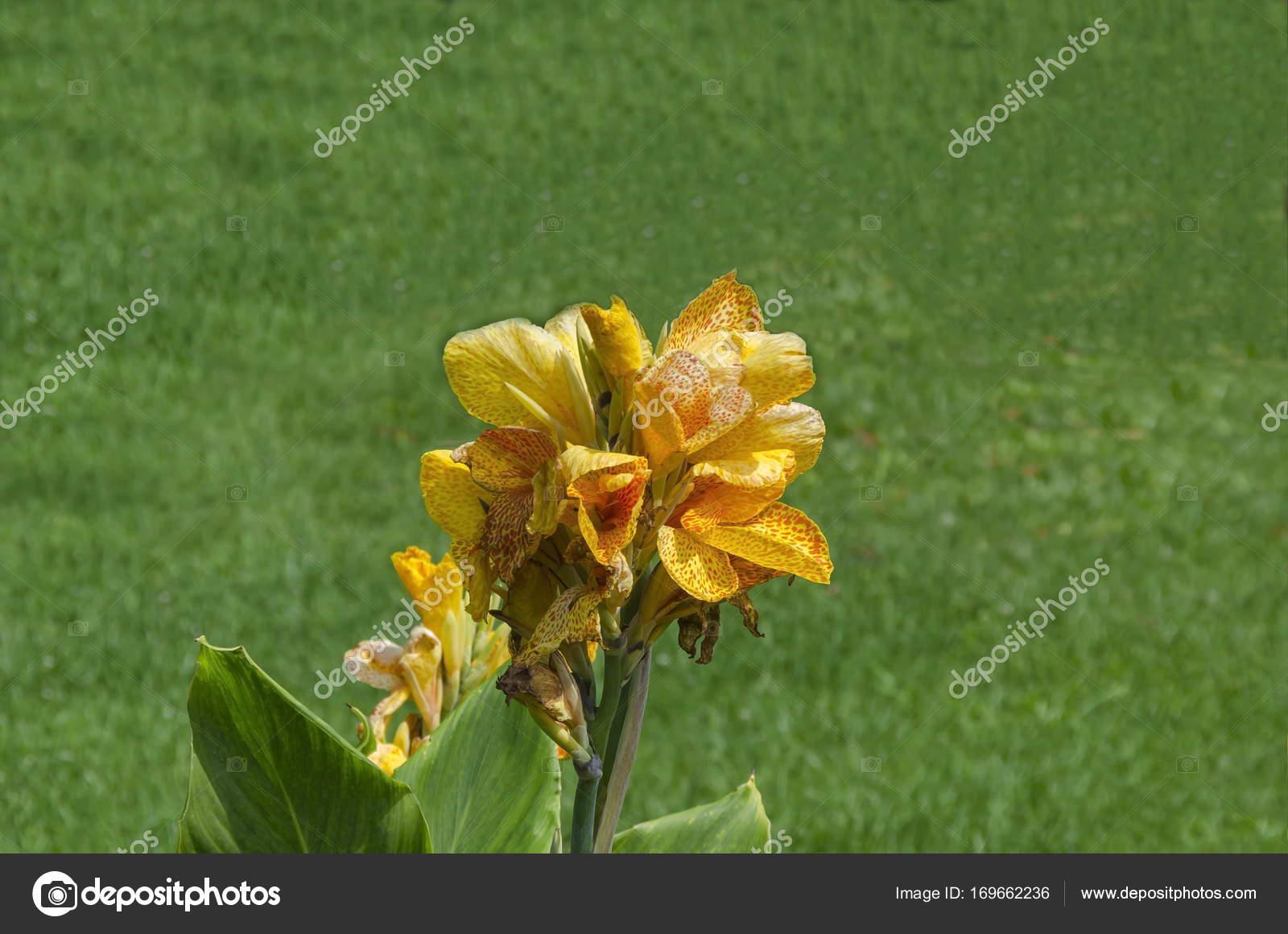 Fleur De Fleur Canna Orange Dans Le Champ Photographie Vili4545