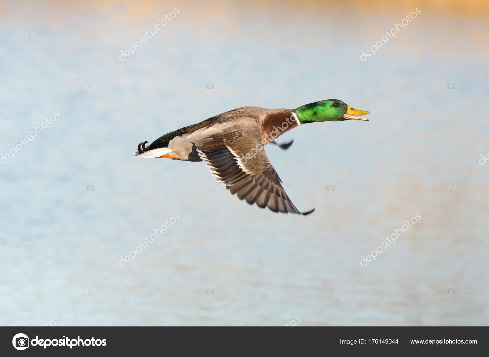 Mallard Duck Flight Stock Photo Jctabb 176149044