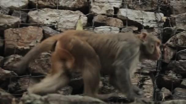 Divoká opice šplhající po kamenné zdi v Nepálu Káthmándú v Asii.