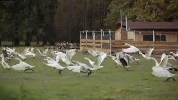 Ein Schwarm Gänse fliegt über eine Wiese auf einer Bauernweide