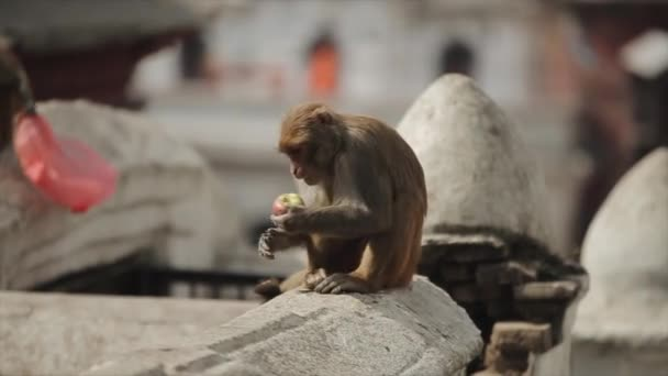 A cute little wild baby monkey picking and eating food from the ground. Streets of Nepal, Kathmandu.