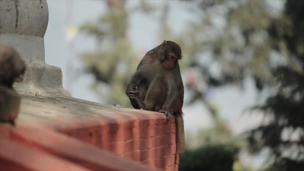 Roztomilá divoká opice sedící a jedoucí na okraji střechy, chrám v Káthmándú Nepálu.