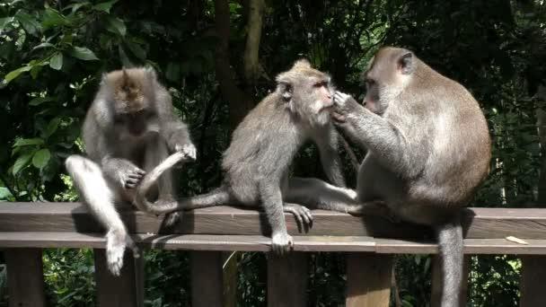 Tři opice hřeben blechy, proti deštný prales