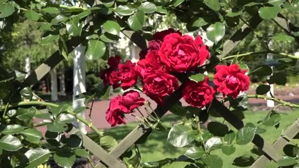 Kvetoucí červené růže closeup