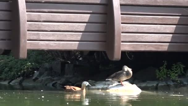 Ducks on a rock in a pond