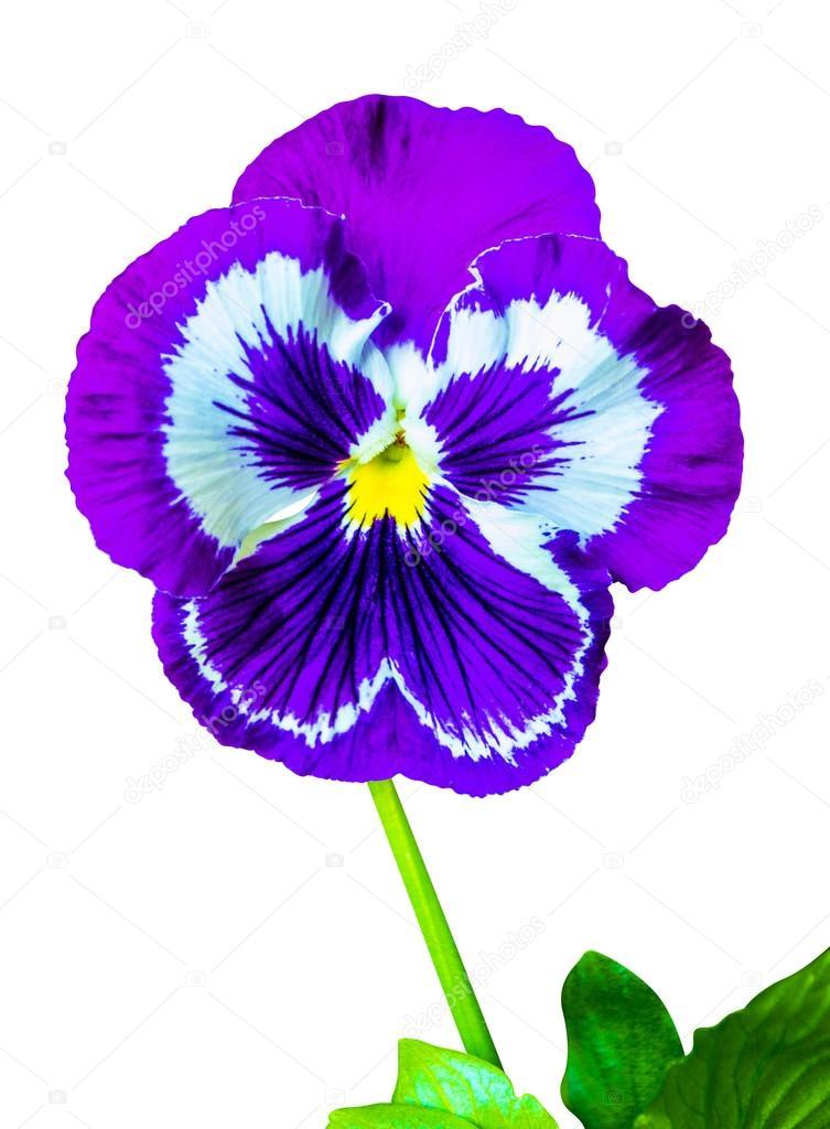 Pensees Colore Floral Fond De Pensee De La Fleur Flo Violet
