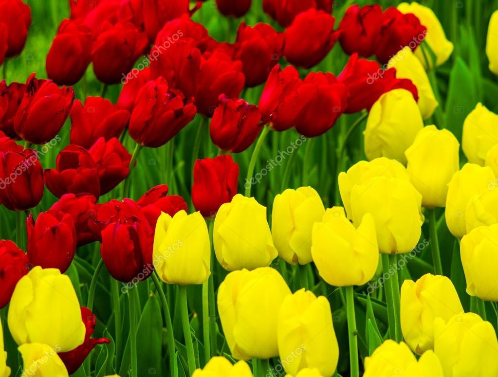 Imagenes Tulipanes Amarillos Y Rojos Flores Tulipanes Tulipanes