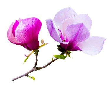 decoration of few magnolia flowers. pink magnolia flower isolate