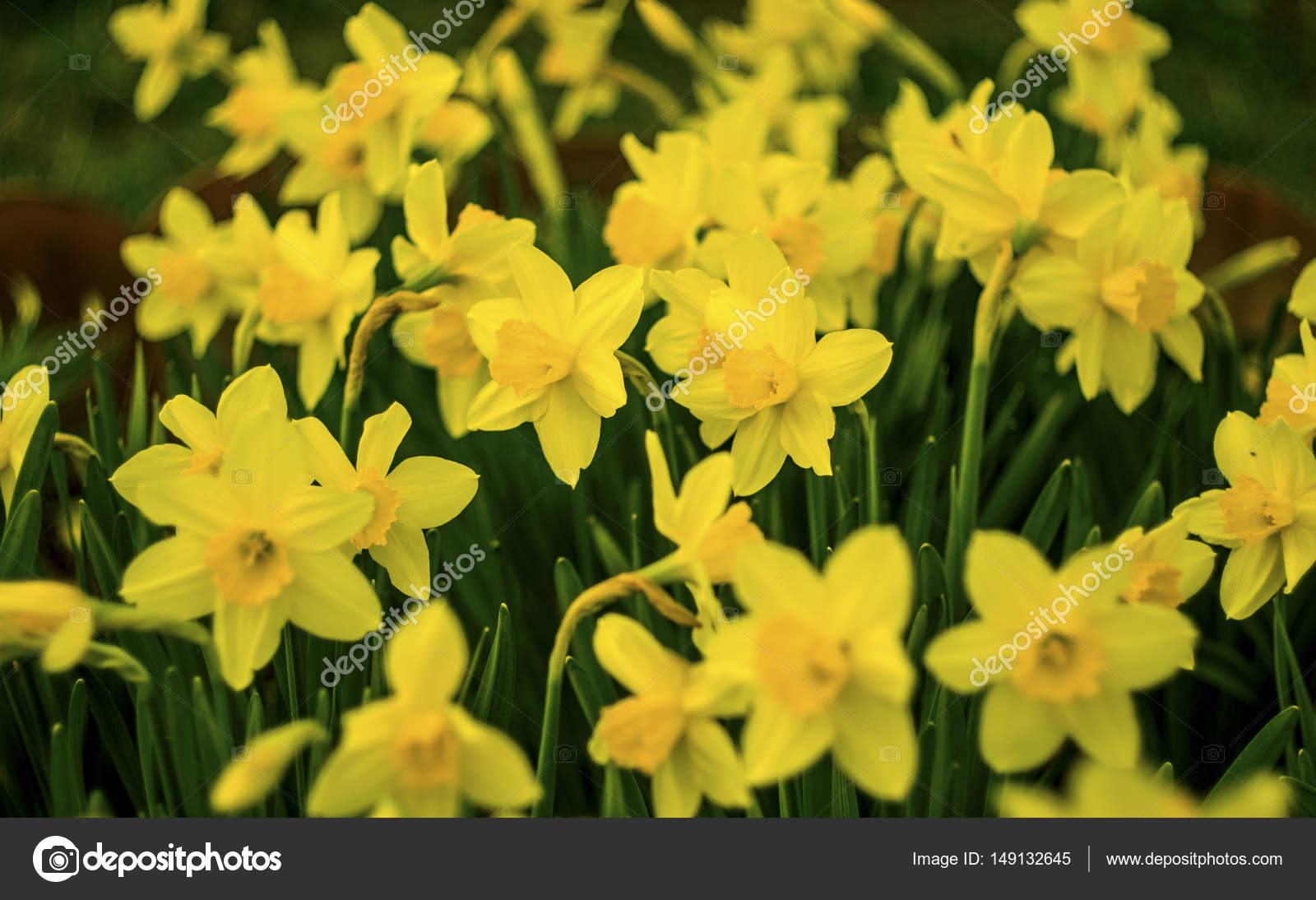 jonquilles fleurs de jonquilles fleur jonquille jaune dans la f photo - Fleur Jonquille