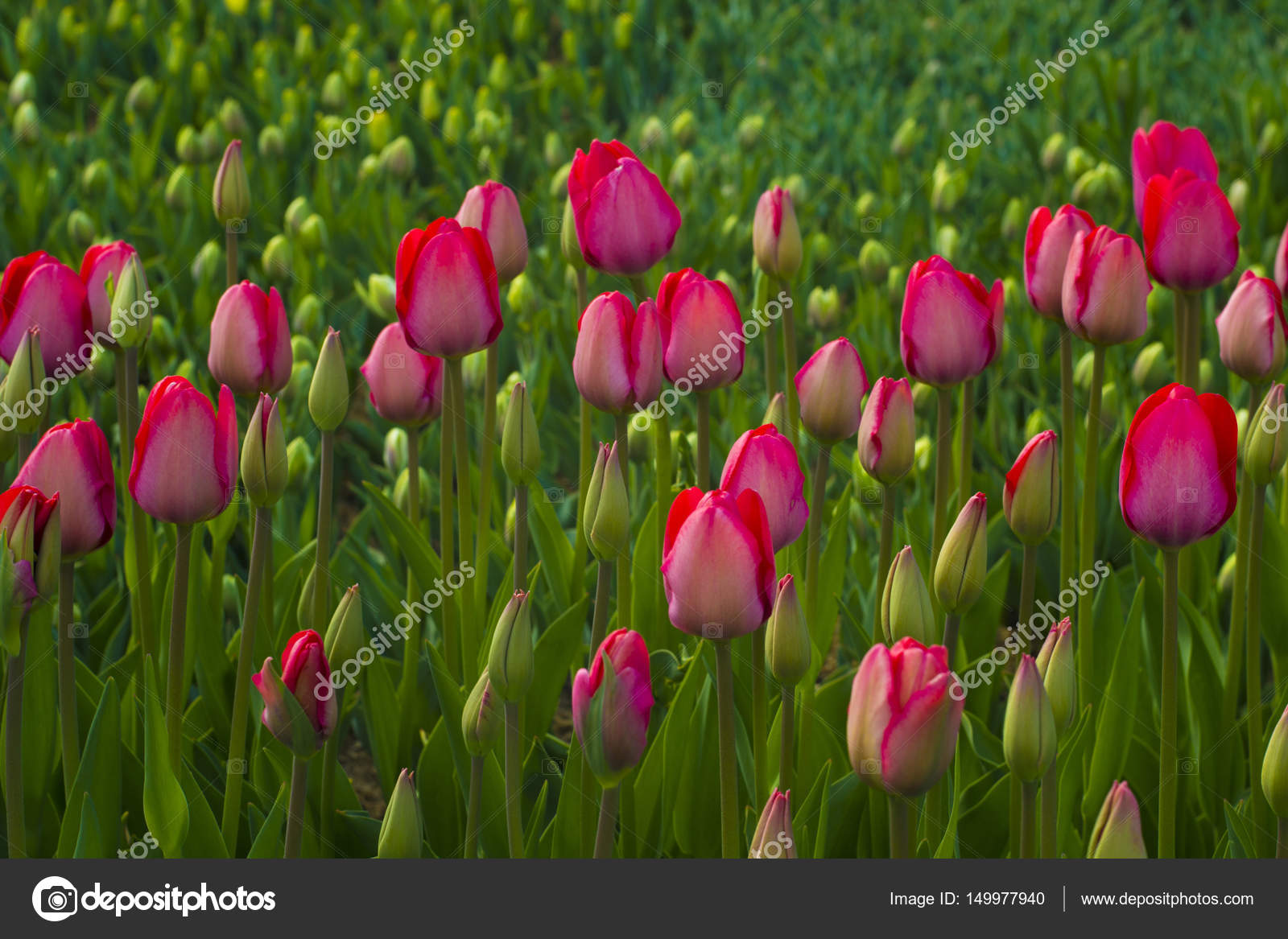 Field Of Tulips Tulips Flowers Red Tulips Bed Of Pink Tulips